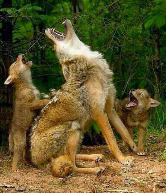 Coyote howling school
