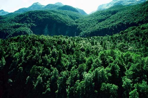 Extensive mountain–silver beech forest is found in Fiordland National Park. Rimu, miro and kahikatea are sometimes also present, and can be seen here emerging above the beech canopy.