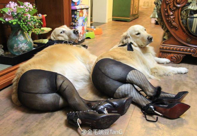 Dogs Wearing Pantyhose - This is just sooo wrong but hilarious (2 of 15 Pics)