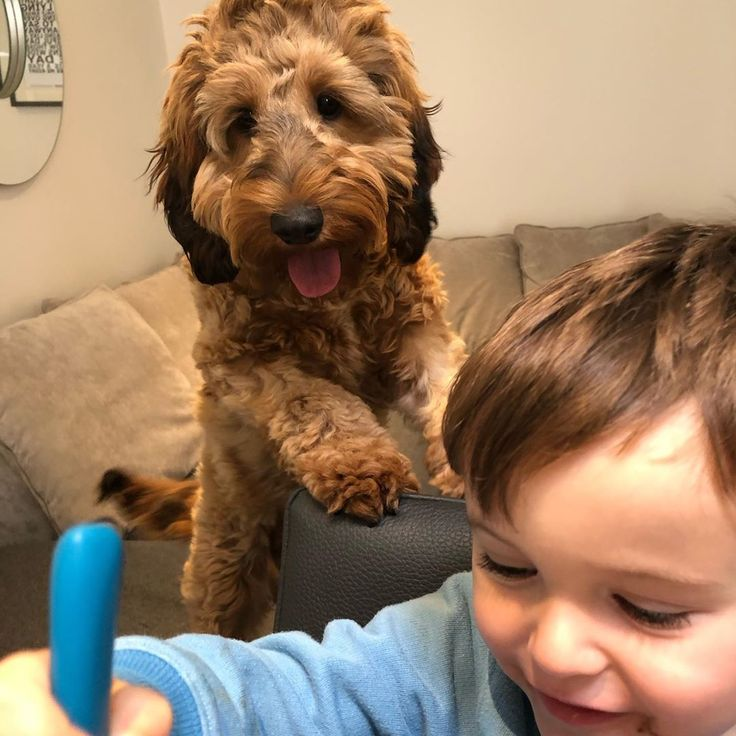 Lunchtime scrounge  #familypet #puppy #cockapoo #macchi #family #dog – Puppy