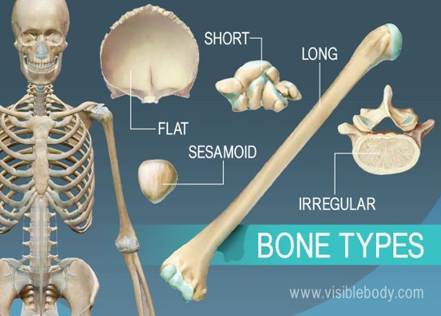 Today in class we went over the types of bones that are found in an animal. I thought this was a good picture that shows what the different bones look like.