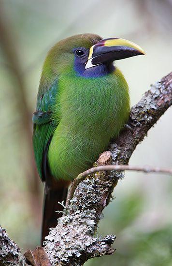 emerald toucanet, Savegre, Costa Rica
