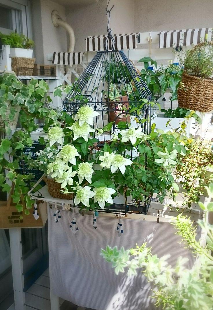 2015 Spring やったー!Clematis白万重、咲いたー。日照不足の環境でよく咲いてくれました。