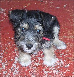 Thanks to Miss Jeannie Walch Hailee now wants this little Schnack (Jack Russel & Schnauzer Mix)