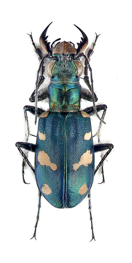 cicindela granulata