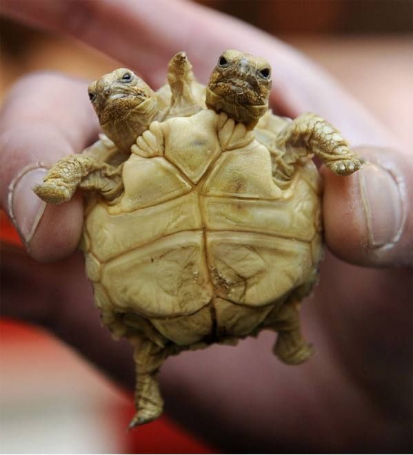 Two Headed Turtle.... gnarly!