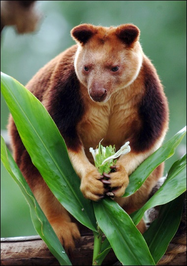 goodfellows tree kangaroo of australia is endangered due to over hunting and habitat