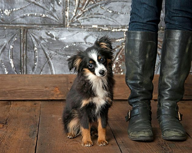 Tiny toy australian shepherd puppy