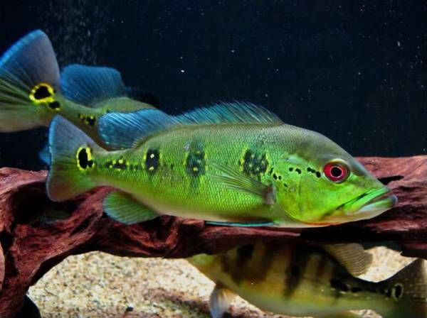 Peacock Bass aquarium size! | MonsterFishKeepers.com |Peacock Bass Aquarium