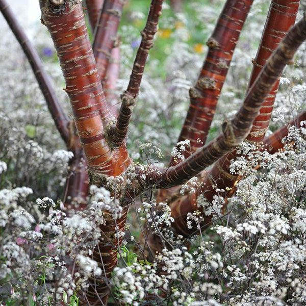 Prunus serrula - A decorative tree that provides year-round interest. It has peeling, glossy, mahogany-coloured bark and white flowers in late spring that are followed by cherry-like fruits. The rich green foliage turns yellow in autumn before it drops.
