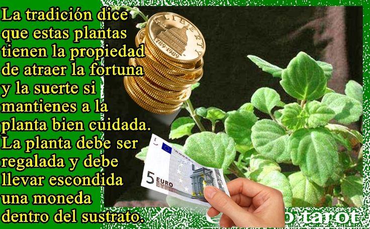 Para atraer dinero planta monedita antes de plantarla - Como atraer dinero y buena suerte ...