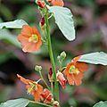 Sphaeralcea incana - Knotsmalva (Bloeit zeer rijk met oranje bloemen. Bloeit erg lang. Prefereert een zonnige standplaats in vruchtbare, zeer goed doorlatende grond. Pas op voor te veel vocht in de winter, dit kan funest zijn. Bladverliezend: ja. Bloemkleur: oranje. Bloeiperiode: jun - sep. Hoogte: 90 cm).