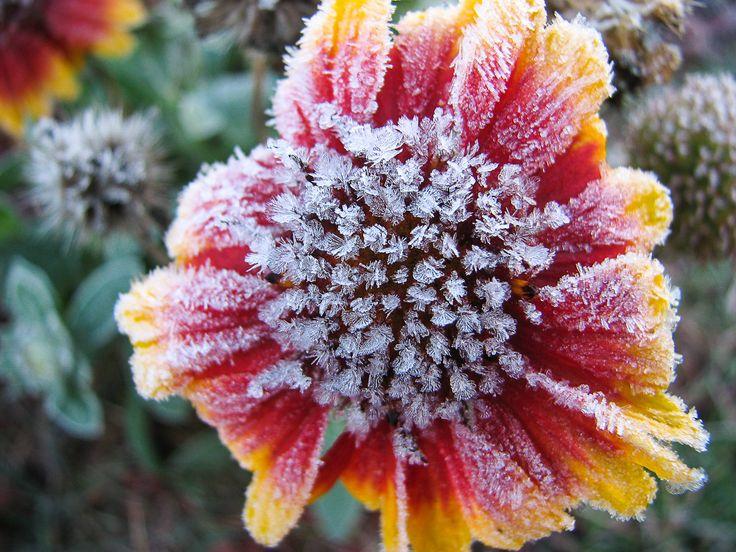 Frosted blanket flower.