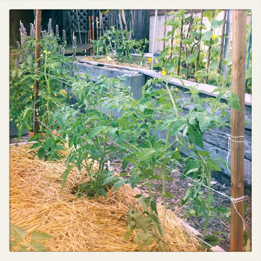 chinese metod how to grow tomatos plants