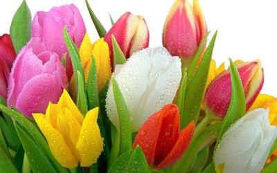 Multicolor tulip bouquet wallpaper