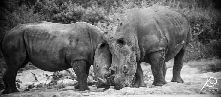 Rhinos Enjoying Each Others company-)