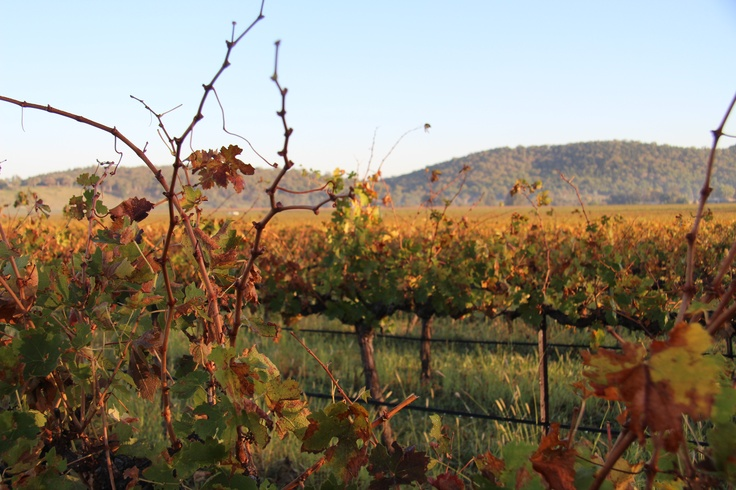 Some of the beautiful vineyards in Mudgee, NSW. An early morning shot that i took whilst out and about looking for some good coffee. #wine #mudgee #aussiewine.