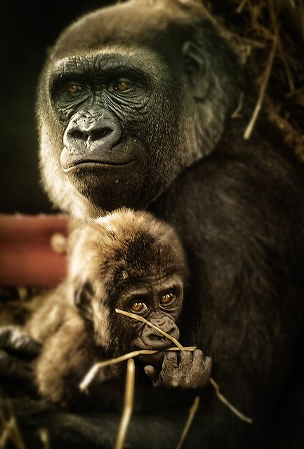Mother and BabyWild, Primative, Animal Baby, Animal Art, Mothers And Baby Animal, Baby Monkeys, Baby Animals, Beautiful Eye, Baby Gorilla
