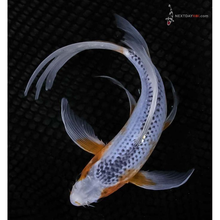 The 25 best koi fish for sale ideas on pinterest koi for Cheap koi fish