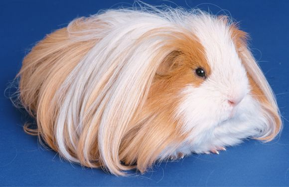 """Las cobayas shelties tienen el pelo largo, denso, liso y sedoso. En la zona de la cara el pelo será normal, comenzando el pelo largo en la zona de las mejillas formando las barbas. Éstas deberán ser lo más densas y largas posible. En la cabeza, entre las orejas, crecerá el pelo largo hacia atrás originando así la """"moña"""" o """"topnock"""", que tendrá que llegar hasta caer por la parte del dorso, entremezclándose con el resto del pelo, que crecerá en todo el cuerpo por igual. Fuente: smallcoby"""