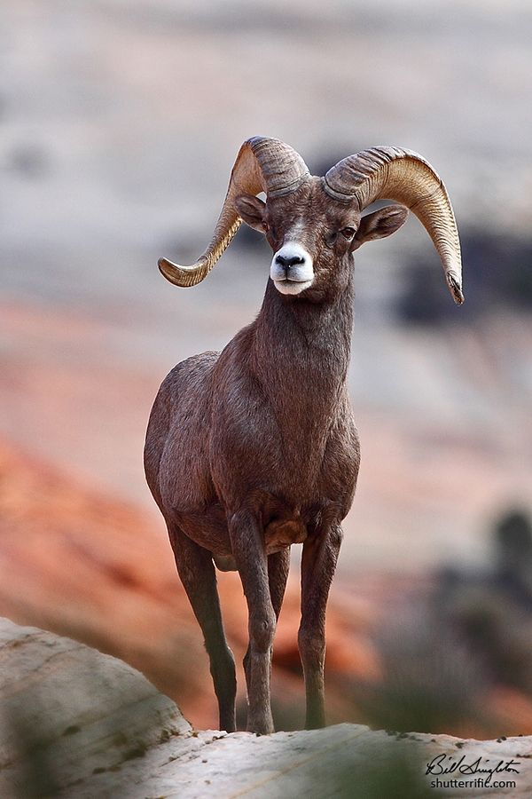 Desert Big Horn Sheep (Least Concern, 15,000-18,200 Individuals)