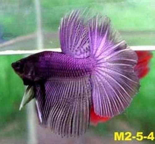 Betta splendens half moon double tail crown tail for Purple betta fish