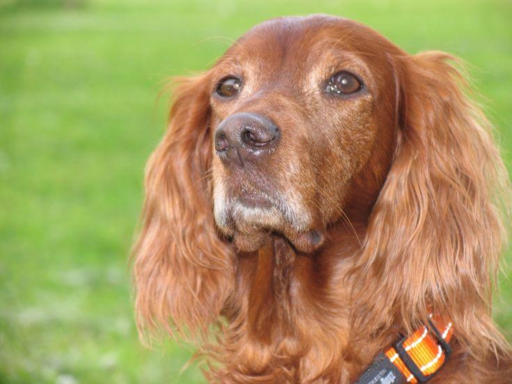 Собаки Ирландский сеттер Животные