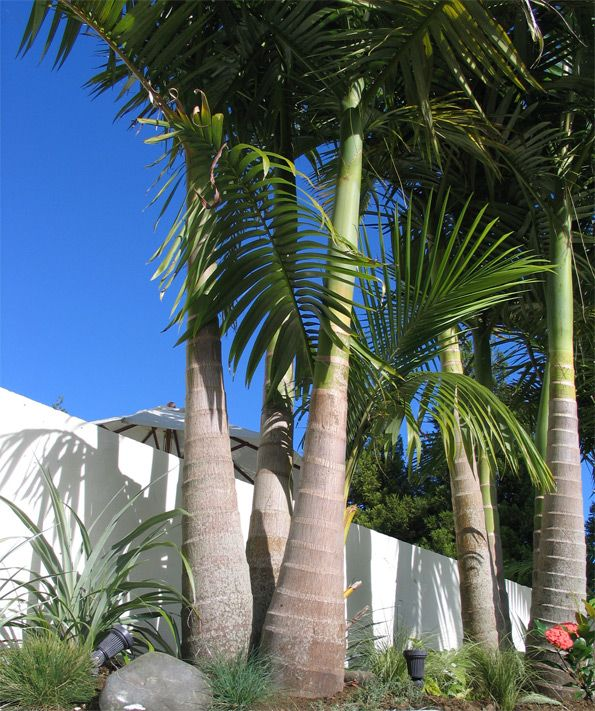 Bangalow-palms in cone and half way along fence between neighbours fuit trees