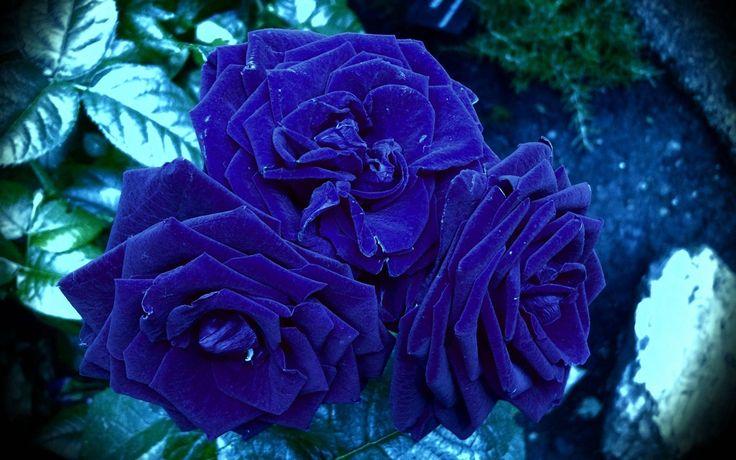 Blue Rose Wallpaper Free Download.