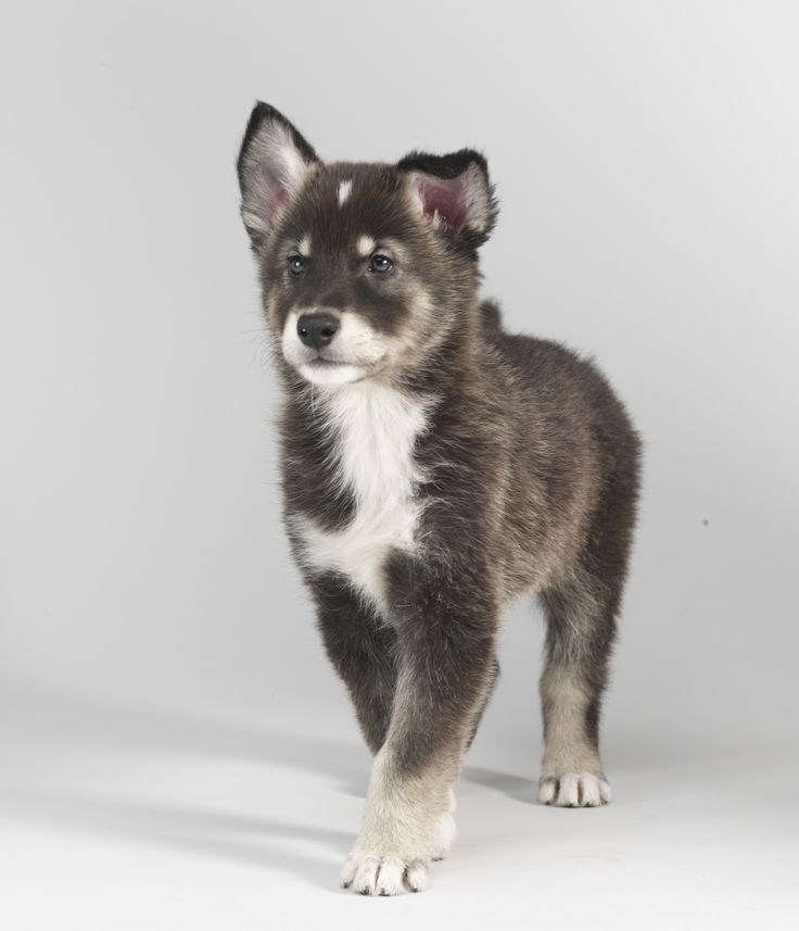 Tamaskan Dog / Tam / Tamaskan Husky / Finnish Dog, so adorable!!!