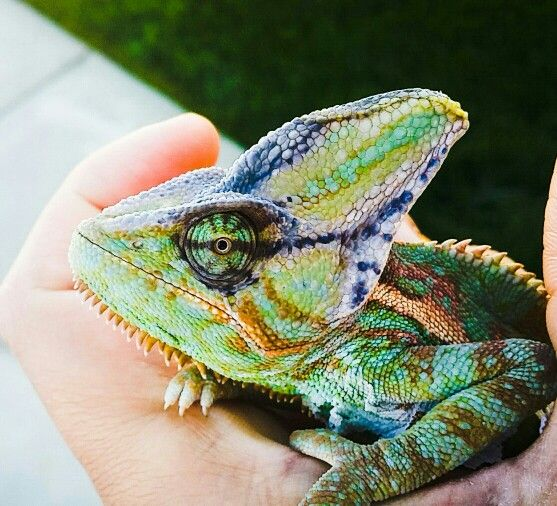 17 Best Images About Chameleon On Pinterest