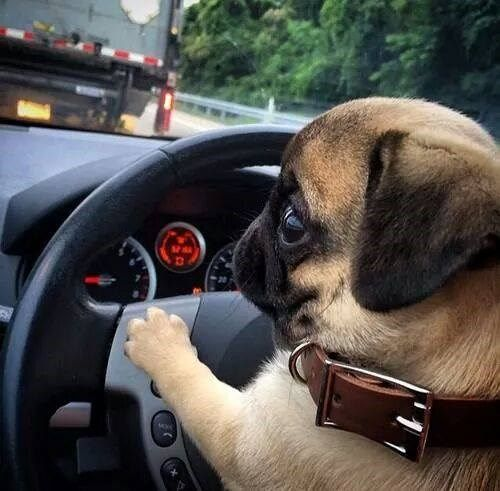 """Honk, honk, woof, you cut me off!"" #dogs #pets #Pugs Facebook.com/sodoggonefunny"