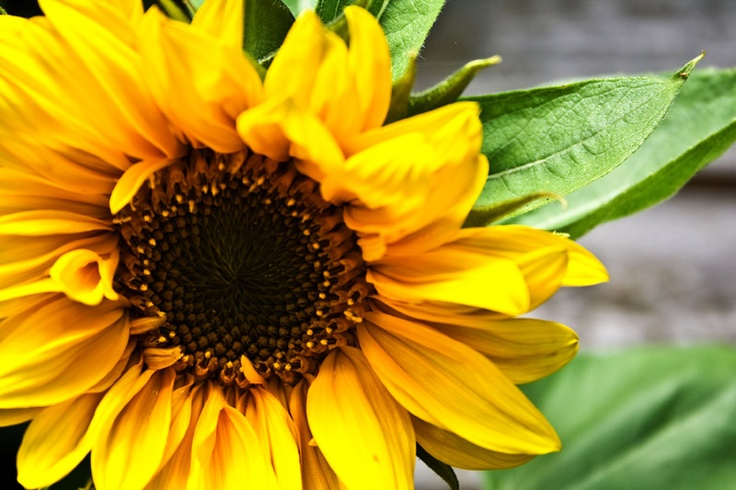 Sunflower Oil •This provides the skin with natural-barrier protection against bacteria and irritants.