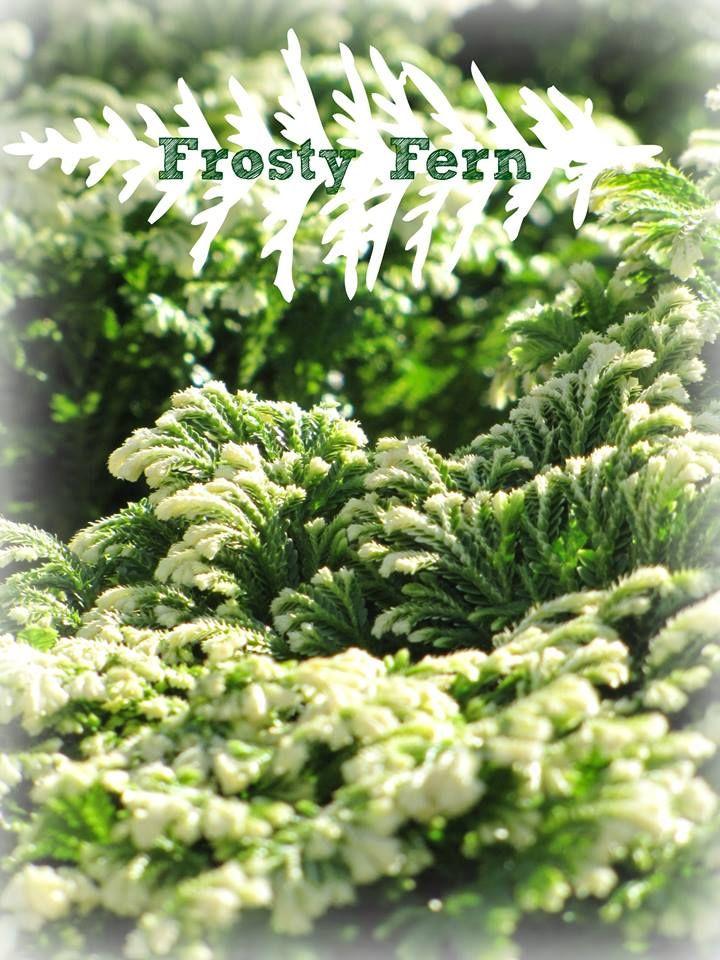 The Frosty Fern Houseplant!