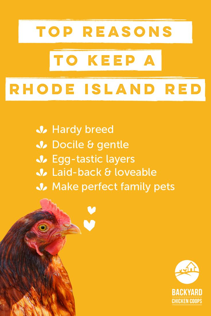 Rhode Island Reds are an all round egg-ceptional breed. With their many amiable qualities these girls will be a pleasure to have in any backyard environment. Here are more reasons to love this excellent breed, http://www.backyardchickencoops.com.au/5-reasons-to-love-rhode-island-red-chickens #loveyourchickens #amiable #rhodeislandredchickens