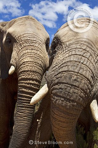 Close up of two african elephants, South Africa by Steve Bloom
