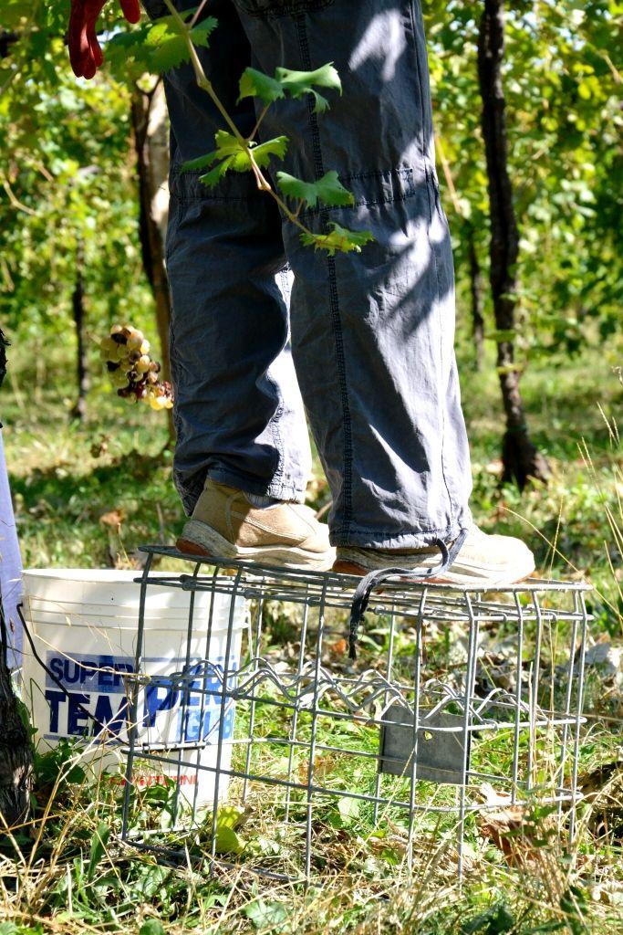 man at work # grape # wine producer # scissor # white wine # www.cabiancadellabbadessa.it #