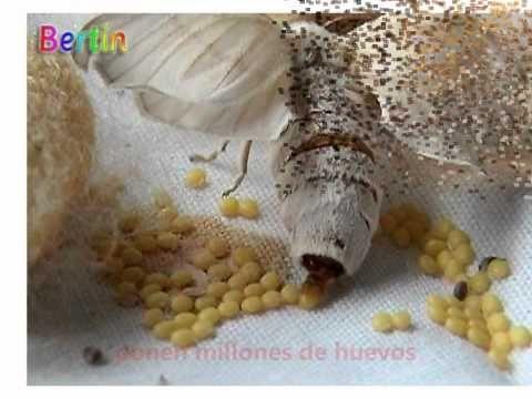 La Chachipedia: El gusano de seda