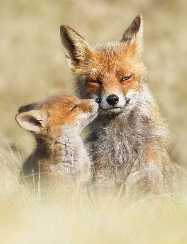 nice Photographer Reveals Rarely Seen Side Of Wild Foxes