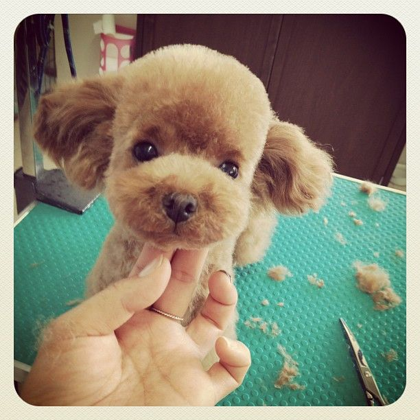 Chocolate Poodle <3 <3 <3