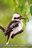 australian laughing kookaburra(Kingfisher)
