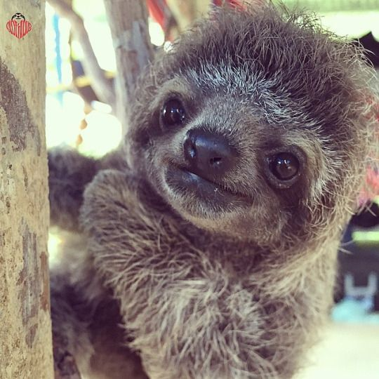 Baby sloth ♥                                                                                                                                                                                 More