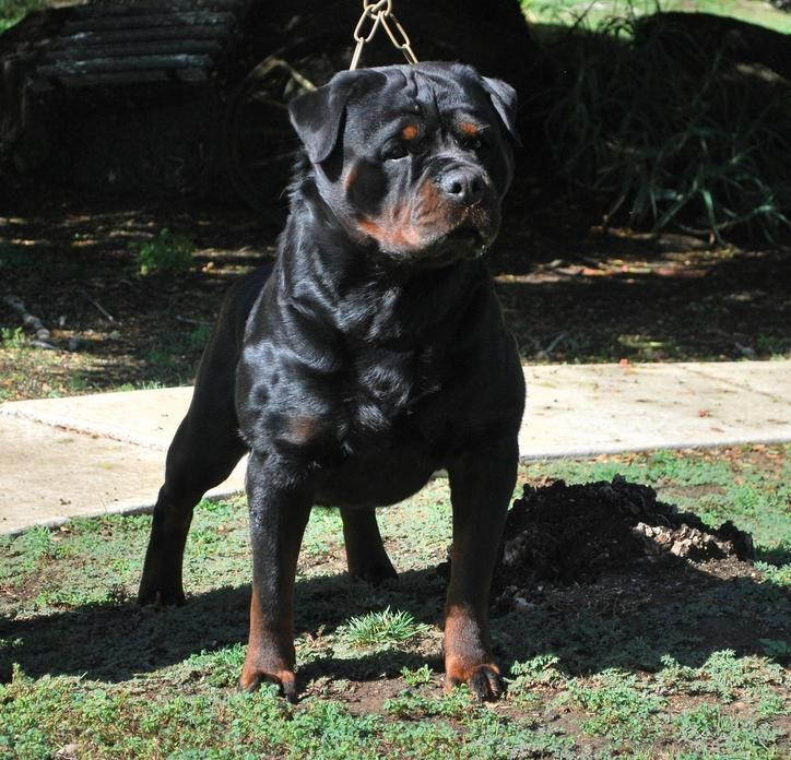 Von Ruelmann Rottweilers inc - German Rottweiler Puppies For Sale, Rottweiler Breeder, German Rottweiler Breeder