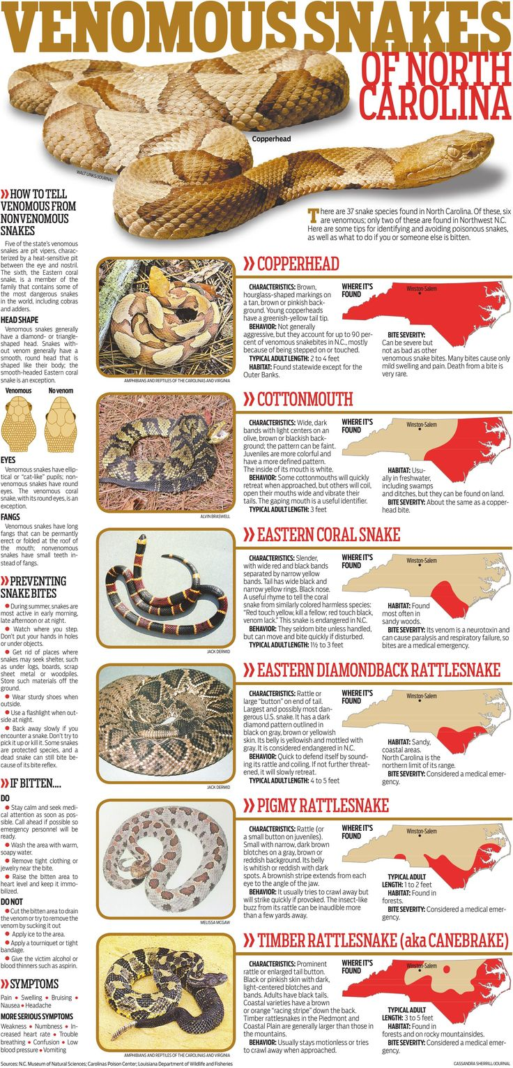 Venomous Snakes Of North Carolina Special Sections Journalnow