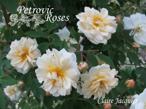 Claire Jacquier | Petrovic Roses