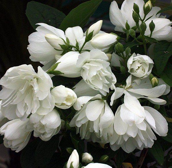 Philadelphus 'Snowbelle' - Arboretum Garden Centre
