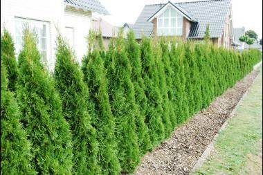 Lebensbaum 'Smaragd'   Der Thuja plicata 'Martin' (Lebensbaum 'Martin') ist ein Heckenlebensbaum, der eine wunderhübsche, kompakte wintergrüne Hecke bildet. Die glänzenden Blätter sind grün bis dunkelgrün und riechen herrlich, wenn man sie verpulvert. Die Früchte des Lebensbaums 'Martin' sehen wie kleine Kegel aus. Der Rückschnitt erfolgt am besten im Frühherbst. Der Lebensbaum 'Martin' wächst auf fast allen Böden und ist sehr winterhart.