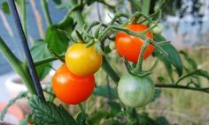 Cómo cultivar tomates cherry en macetas