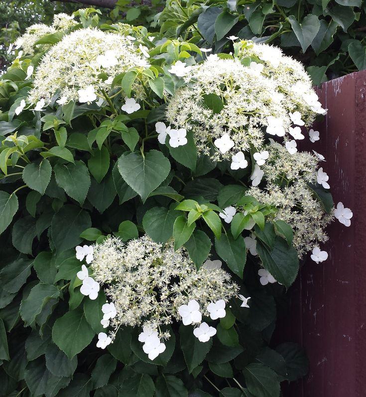 Climbing hydrangea, hydrangea anomala, part shade to full shade, medium water, bloom may to july