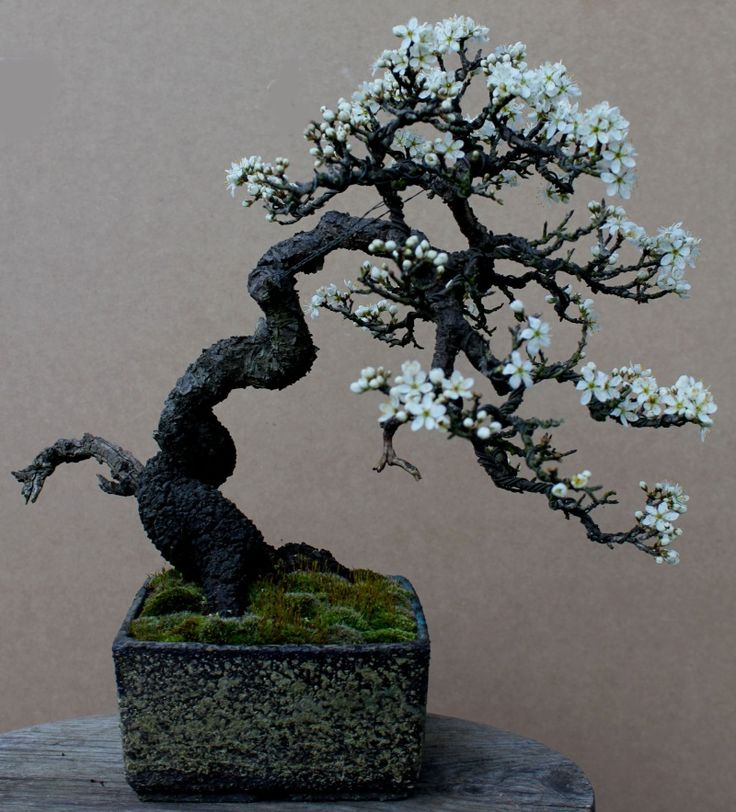 This is one that looks to me like the traditional bonsai I have pictured in my mind.